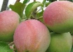 Сорт яблок Северный кандиль