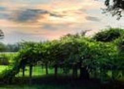 Как предупредить выпревание виноградной лозы