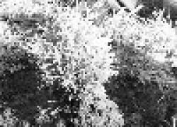 Высадка хвойных растений