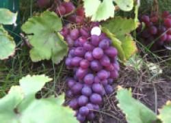 Виноградарь просит помощи