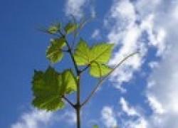 Слишком рано зазеленел виноград