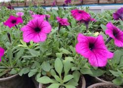 Особенности выращивания петунии на рассаду. ВИДЕО