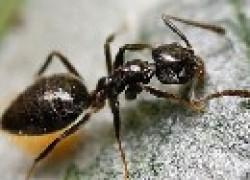 Домашние фараоновы муравьи