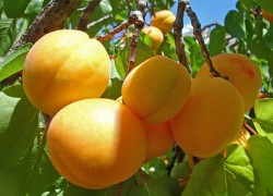 Как омолодить абрикос