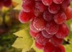 Сорт винограда для пальметты