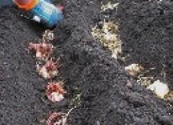 Посадка лилий с ростками