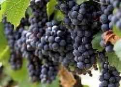 Поэтапное удобрение виноградника