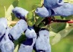 Провинциалка: мега-сорт жимолости