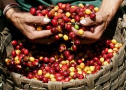 Как вырастить дома кофе