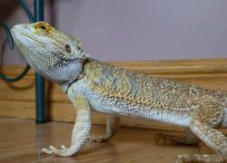 Агама – домашний дракон
