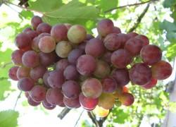 Спасите мой виноградник