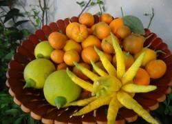 Я выращиваю цитрусы-новогодние «Витаминки»
