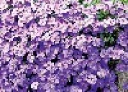 Капельки неба на вашем цветнике