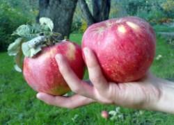 Апорт и другие крупноплодные сорта яблок