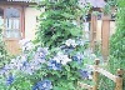 Как разместить клематисы в саду