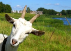 У козы молоко прозрачное