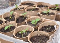 Зачем сажать и выращивать рассаду?