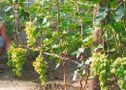 Семья Кривошеевых: «Осваиваем выращивание винограда в теплице»