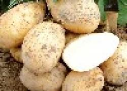 Как разбудить «спящую» картошку