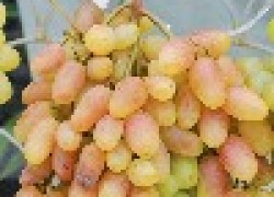 Конференция виноградарей