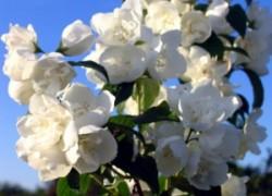 Не цветёт чубушник