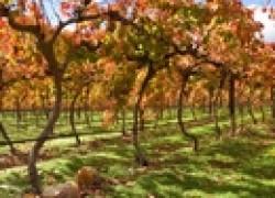 Многоэтажный виноград