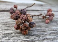 Почему вянут кисти винограда