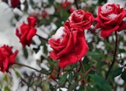 Этим летом на cевере распустились розы