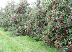 Карликовые сады урожайней