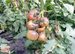 Фитофтора на помидорах: как лечить. ВИДЕО