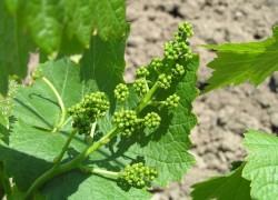 Чем подкормить виноград до цветения