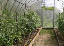 Болезни растений в теплицах и парниках
