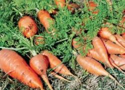Удобрения и подкормки моркови