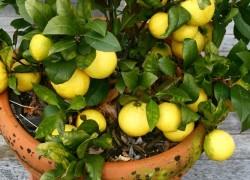 Подарили лимон – что делать?