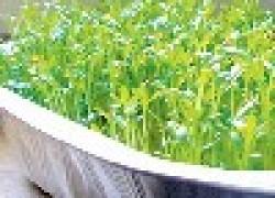 Зеленые витамины выращиваем сами