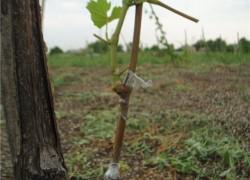Прививка винограда одревесневшими черенками