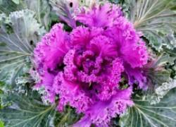 Украсьте стол цветной капустой