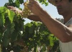 Нормируем урожай винограда