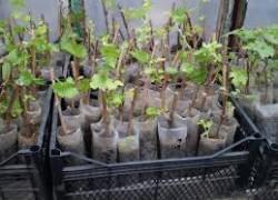 Павел Дубов: О посадке вегетирующих чубуков в полиэтиленовые бутылки