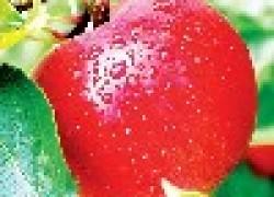 Как получить большой урожай яблок