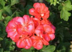 Украсьте свой сад пеларгонией