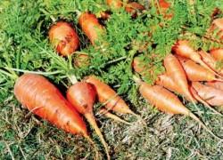 Как выращивать морковь, чтобы она не грустила