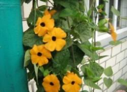 Выращиваем солнечные лианы из семян
