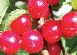 Бородавки у войлочной вишни