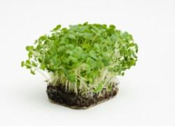 Зелень на огороде – кинза, кресс-салат и другие