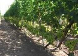 Виноград от кола до беседки