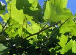 Почему виноград загорошился