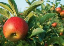 Вредители и болезни яблони