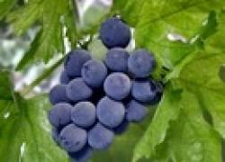 Какой виноград выбрать