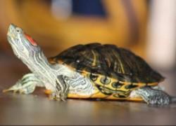 Как правильно ухаживать за красноухими черепахами